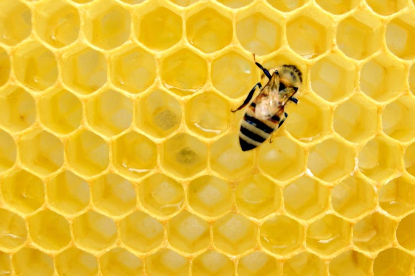 A bee against honeycomb.